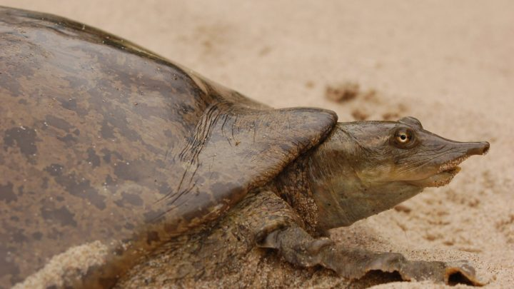 Prime Prices Estimate On Indian Softshell Turtle